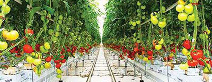How to grow hydroponics tomatoes