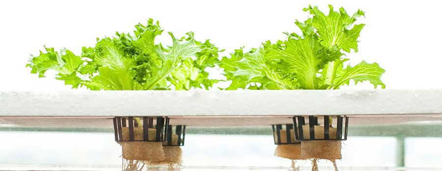 The easiest plants to grow with aquaponics