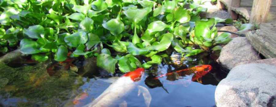 Ideal plants for koi pond