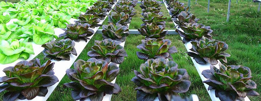 Những loại rau tốt nhất để trồng theo công nghệ thủy canh