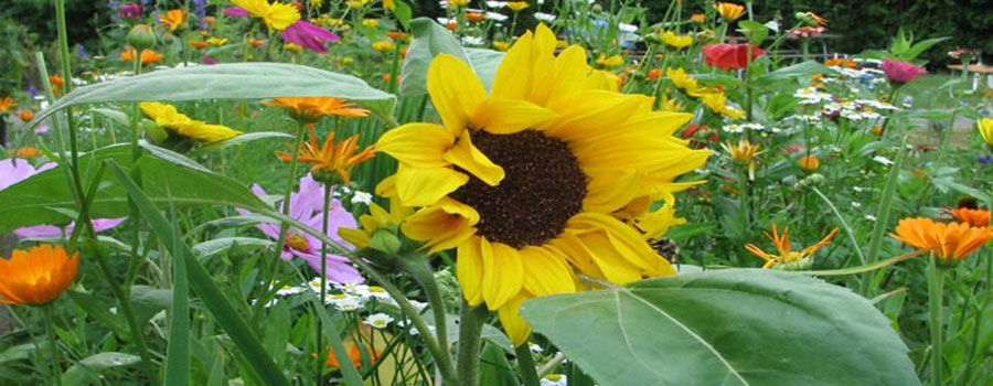 10 loại hoa dễ trồng cho người mới bắt đầu