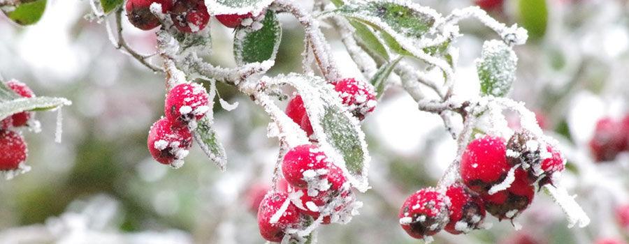 10 loài hoa trang trí cho luống cây vào đông