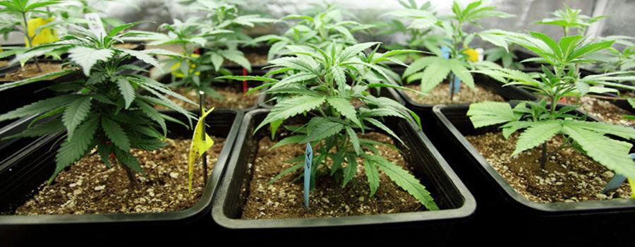 Top 10 crops for pot