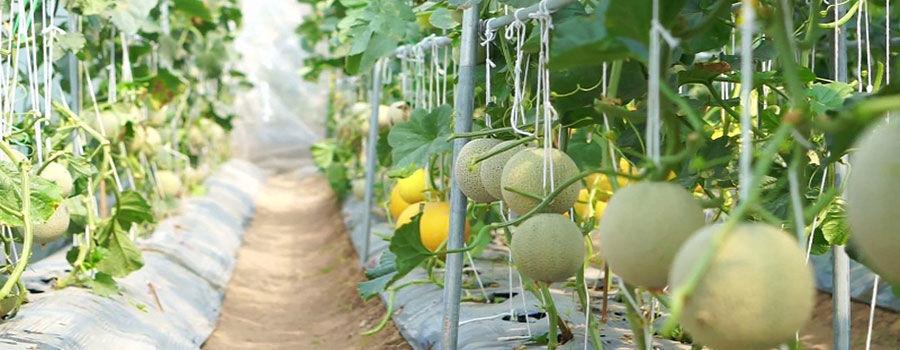 Cách trồng dưa vàng