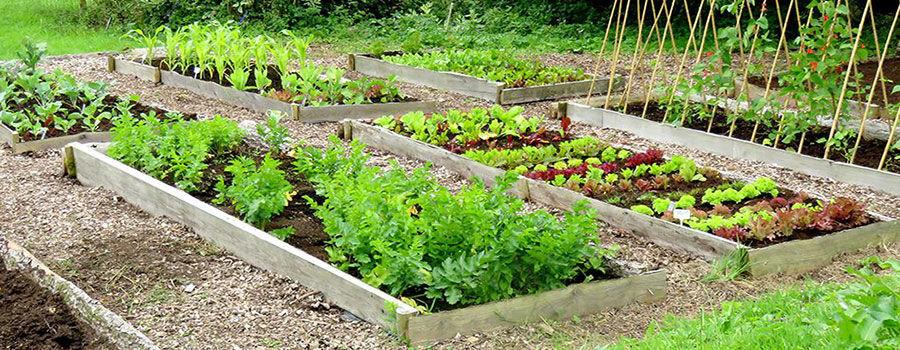 Những loại rau tốt nhất để trồng trong vườn nâng