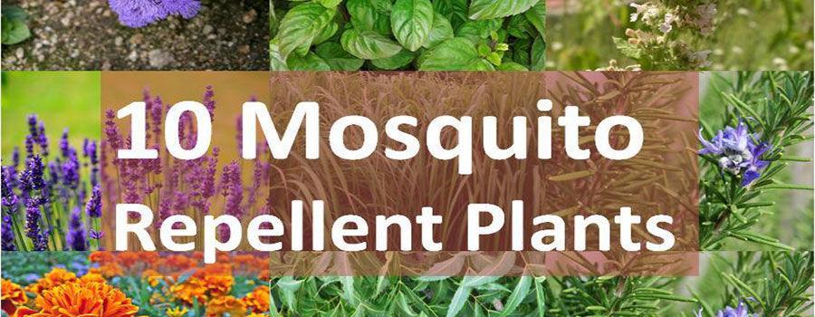 10 loại cây đuổi muỗi tốt nhất