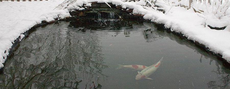 Mẹo chăm sóc ao cá koi trong mua đông