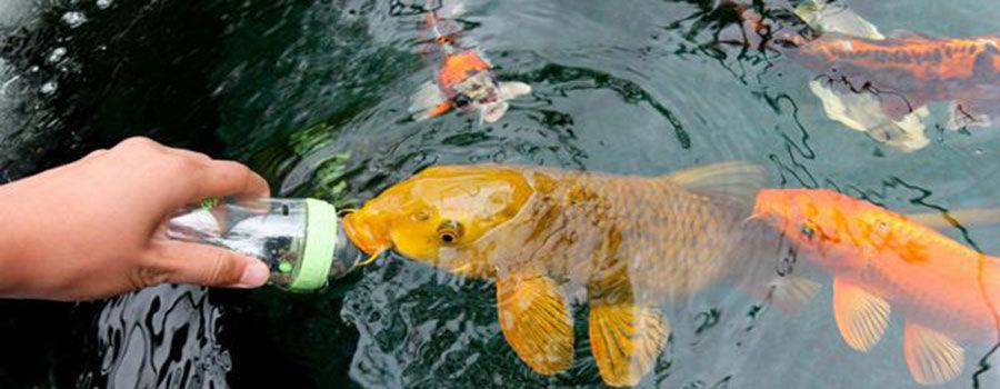 Mẹo hiệu quả nhất để bảo trì ao cá koi